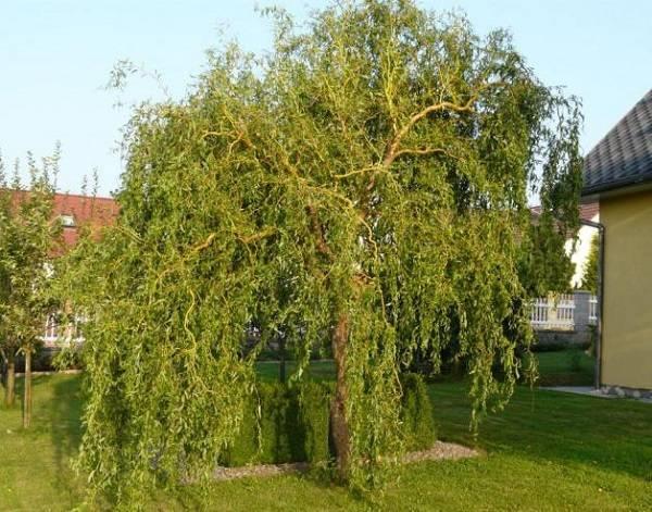 Ива дерево: виды, разновидности, описание посадки и выращивания. особенности ухода и содержания ивы в саду (115 фото и видео)