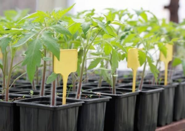Выращивание рассады кабачков в домашних условиях: когда сажать семена в 2017 году