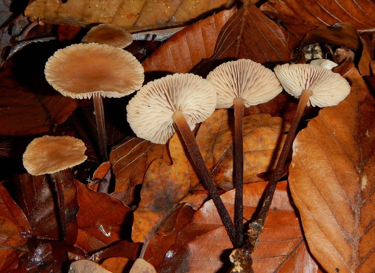 Места распространения чесночника обыкновенного, описание гриба