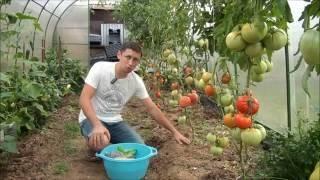 Сидераты для томатов: какие лучше сеять