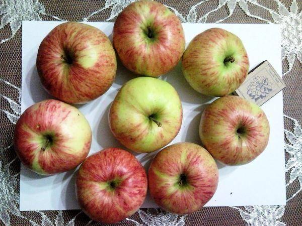 Зеленые яблоки - лучшие сорта зеленых яблонь с названиями и фото (каталог)
