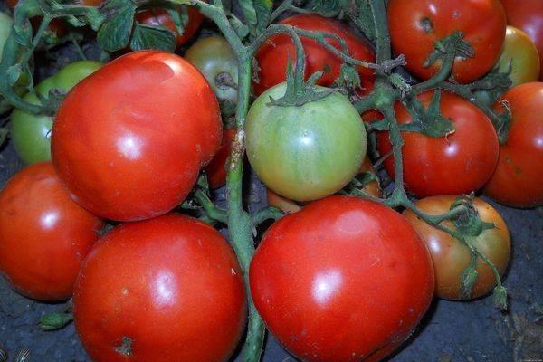 Томат толстой: отзывы, фото, урожайность, описание и характеристика | tomatland.ru