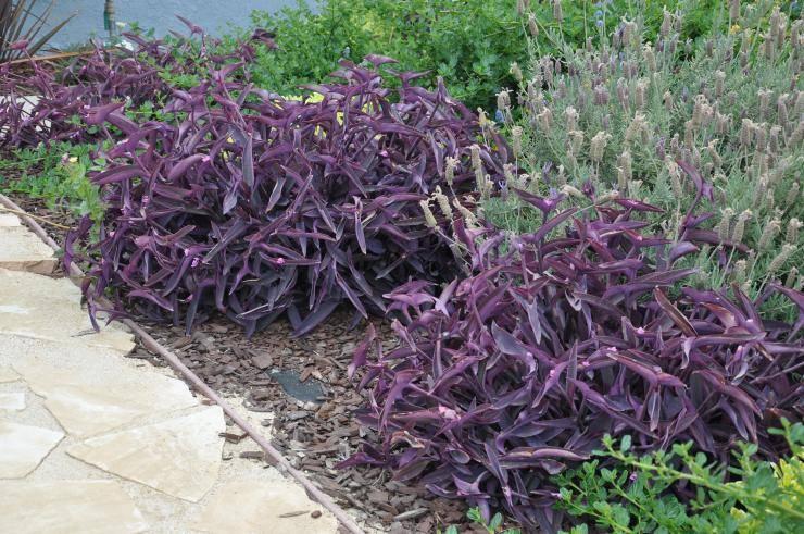 Традесканция садовая многолетняя - посадка и уход