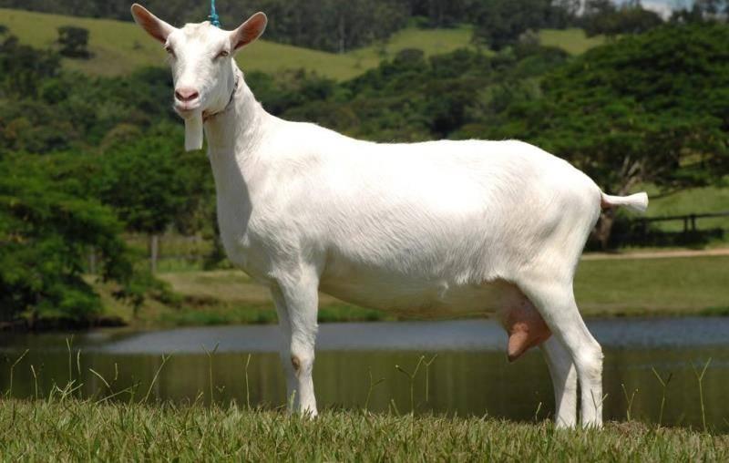 Англо-нубийские козы — фото и описание, продуктивность, уход и кормление, перспективы разведения. | cельхозпортал