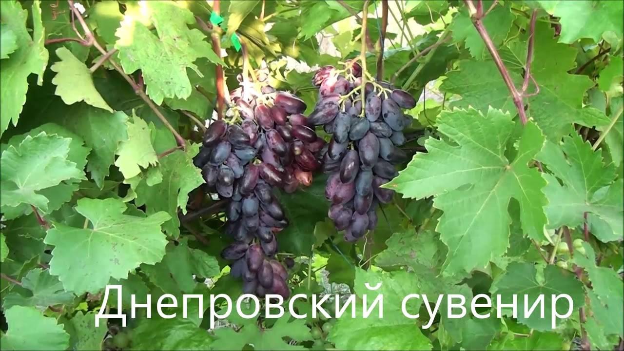Секреты правильного выращивания винограда сувенир
