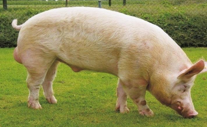 Украинская степная белая порода свиней – стандарты, откорм, содержание 2021