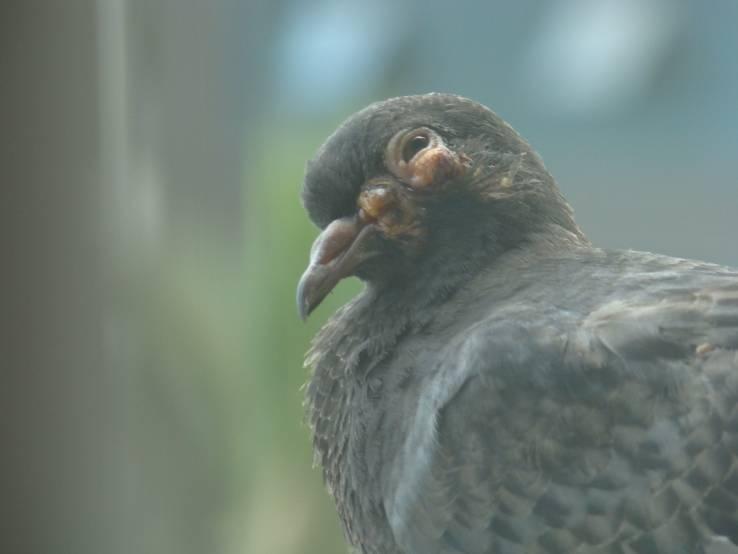 Как лечить сальмонеллез у голубей