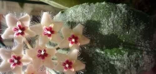 Хойя: правильная посадка и грамотный уход (фото). удивительно красивая хойя: как вырастить, ухаживать и заставить цвести - секреты садоводов