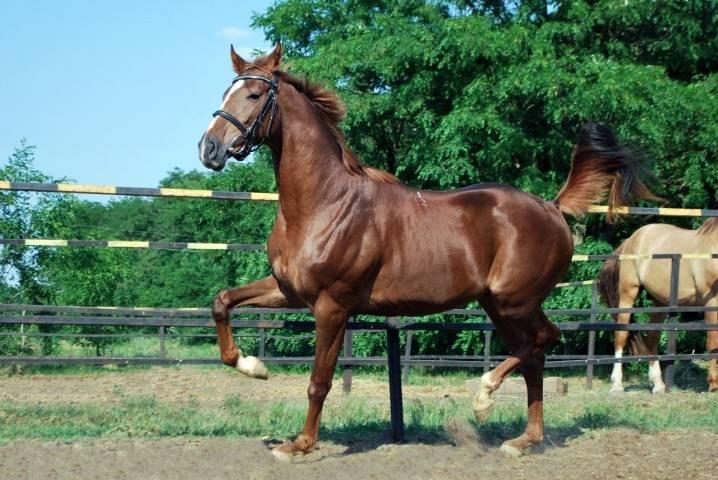 Буденновская лошадь — история породы, экстерьер, особенности характера, преимущества