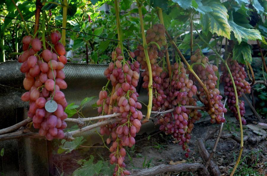 Виноград кишмиш лучистый: характеристики и описание сорта, отзывы садоводов, технология посадки и выращивания