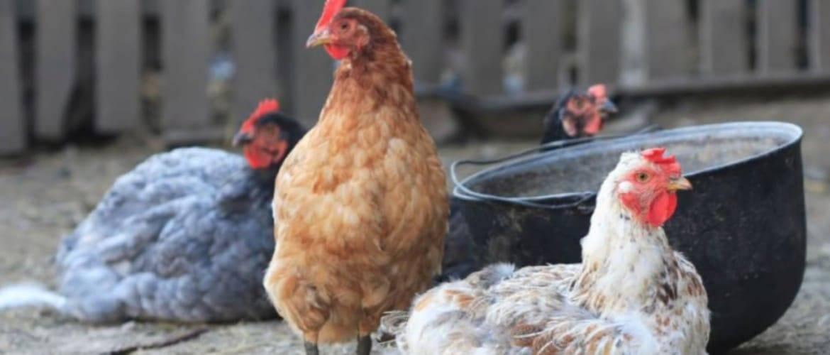 Пробиотики для кур, бройлеров и цыплят — природные биостимуляторы с содержанием живых микроорганизмов, не вызывающие аллергических проявлений