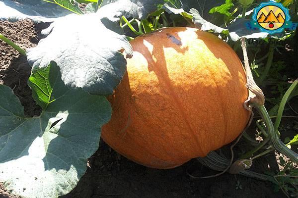Как выращивать тыкву в открытом грунте и когда ее лучше сажать? рекомендации с видео на ydoo.info