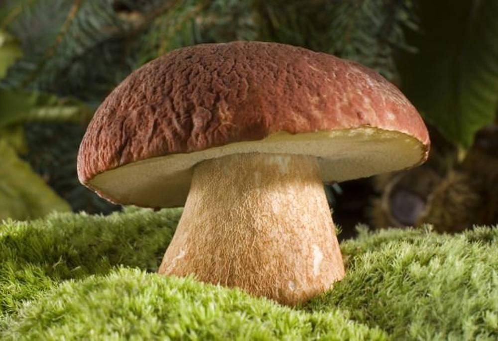 Белый гриб березовый (boletus f. betulicola)