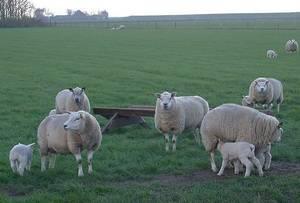 Описание породы овец тексель: происхождение, характеристика, особенности разведения