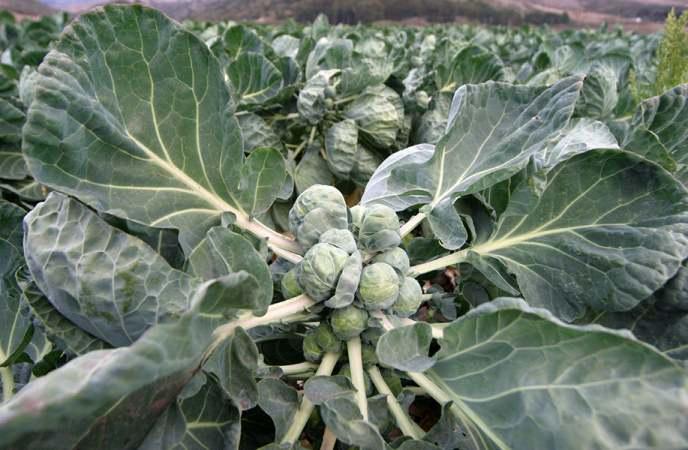 Выращивание и уход за брюссельской капустой на огороде
