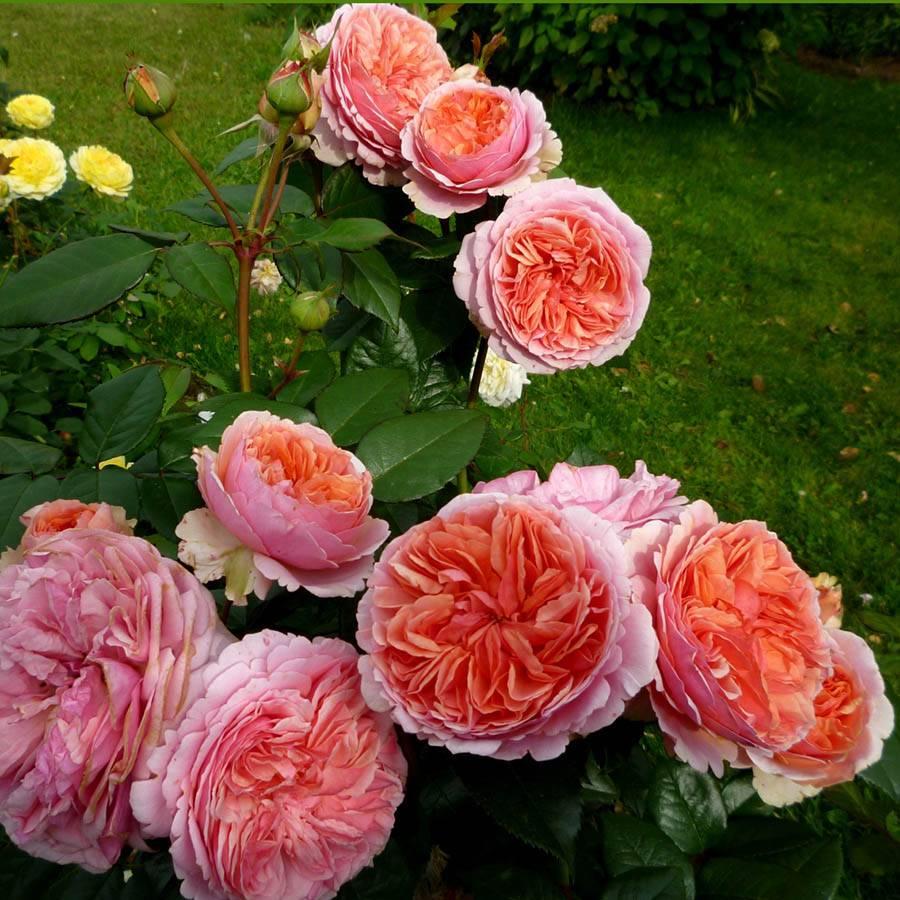 Роза чиппендейл - фото и описание сорта, отзывы