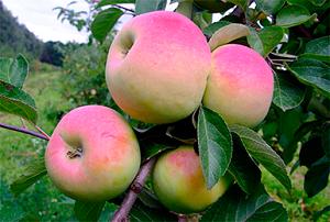 Яблоня мечта: описание и характеристика летнего сорта