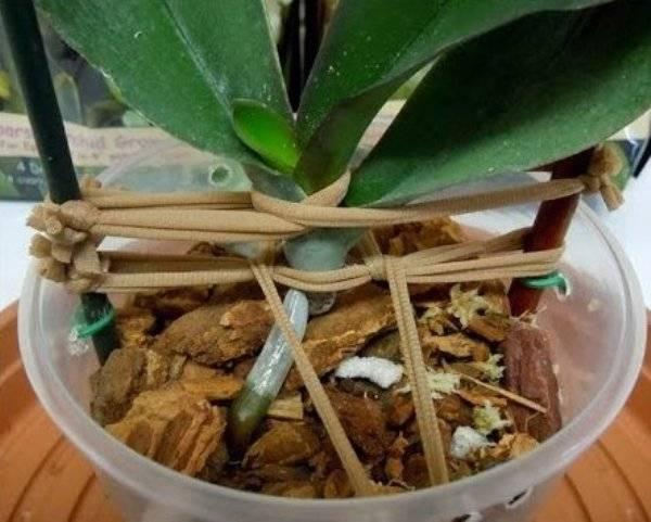 Сгнила орхидея - можно ли и как её спасти, а также что делать, если появилась гниль на шейке? полезные советы от специалистов