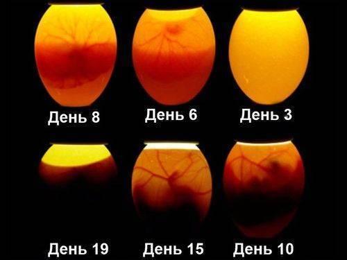 Овоскопирование индюшиных яиц по дням