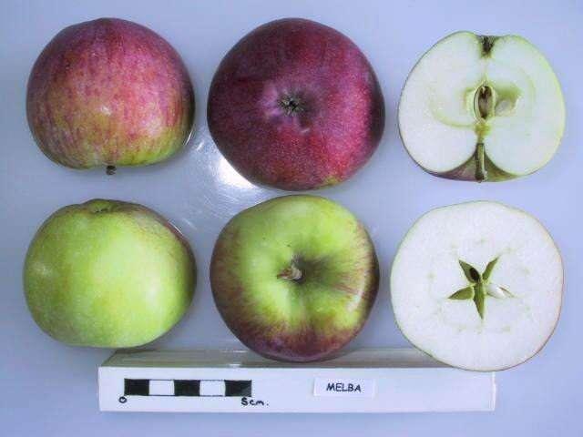 Яблоня «Мельба»: описание сорта, фото, отзывы