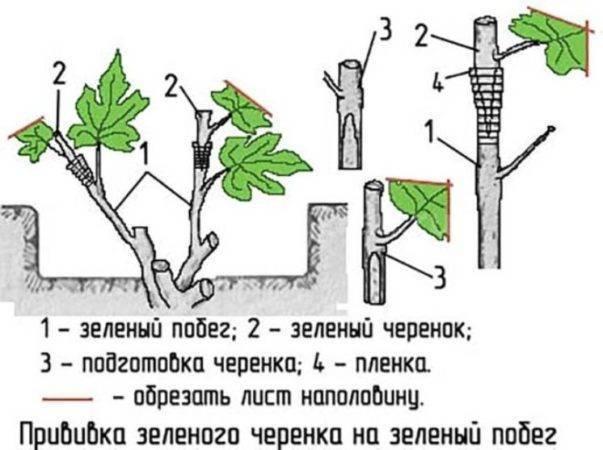Размножение девичьего винограда черенками, мастер-класс с фото на supersadovnik.ru