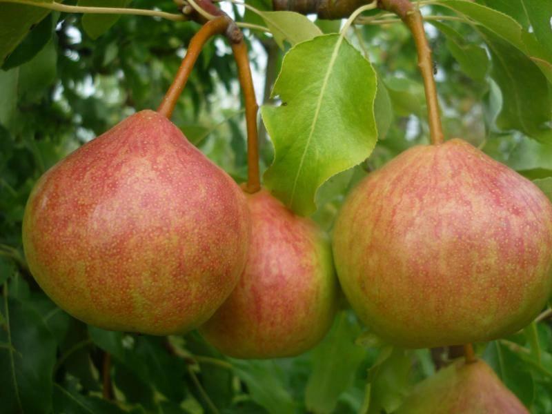 Сорта груши для сибири вкусные зимостойкие (видео)