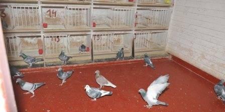 Гнезда для голубей своими руками: как сделать, фото