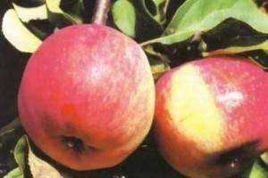 15 лучших сортов яблонь – рейтинг 2020 года