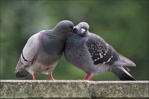 Как размножаются голуби: спаривание, сколько высиживают яйца, когда выводят птенцов