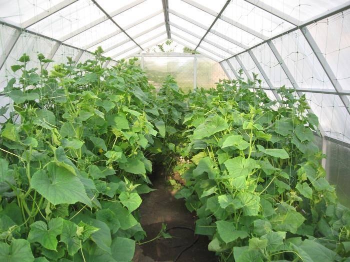 Агротехника выращивания огурцов в открытом грунте
