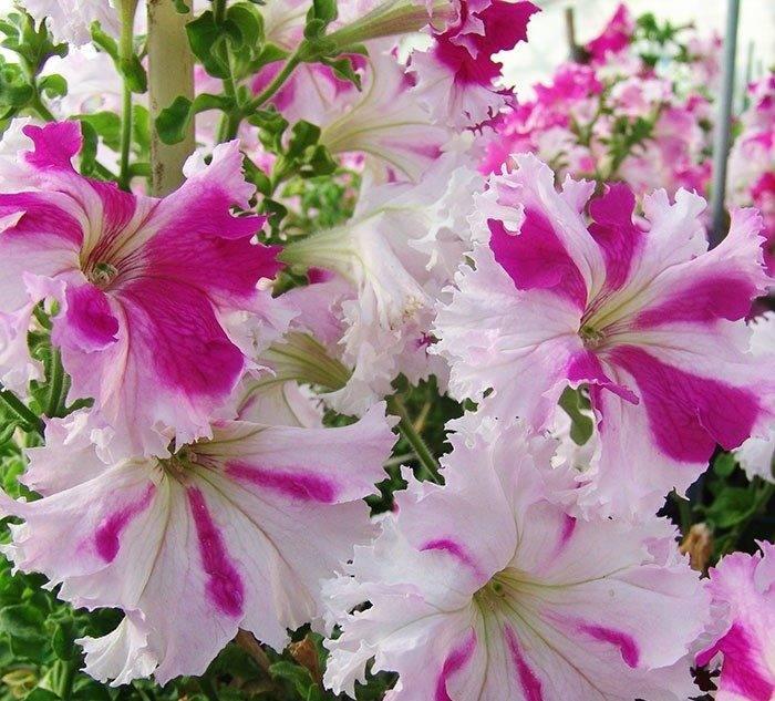 Фриллитунии — петунии с огромными цветками. уход, выращивание, размножение. посадка из семян. сорта. фото — ботаничка.ru