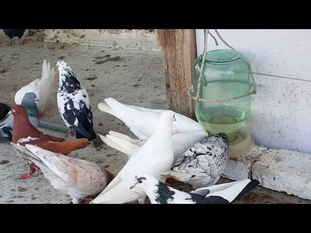 Вакцина для голубей: применение препарата ласота и его инструкция - дача мечты