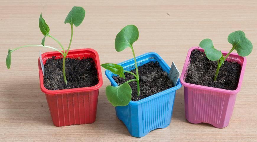ᐉ мирабилис (ночная красавица): выращивание из семян в открытом грунте, фото - roza-zanoza.ru