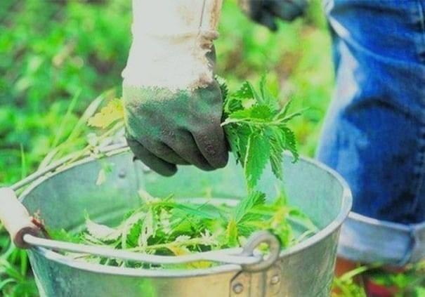Удобрение из крапивы: как приготовить зеленое удобрение, рецепты, видео инструкция использования