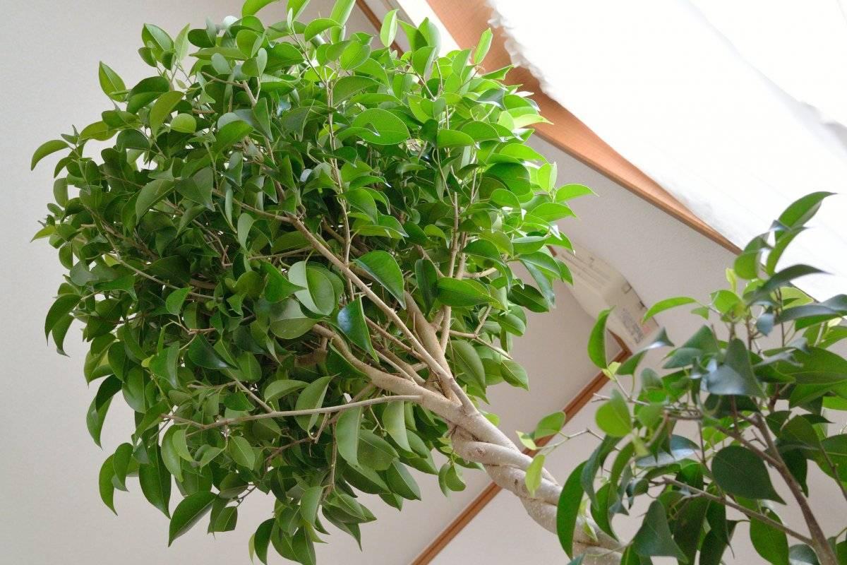 Фикус пестролистный: уход вариегатных цветов в домашних условиях, особенности видов бенджамин, пятнистого, каучуконосного, размножение пестрых растений.