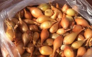 Лук севок - посадка весной, выращивание и уход в открытом грунте