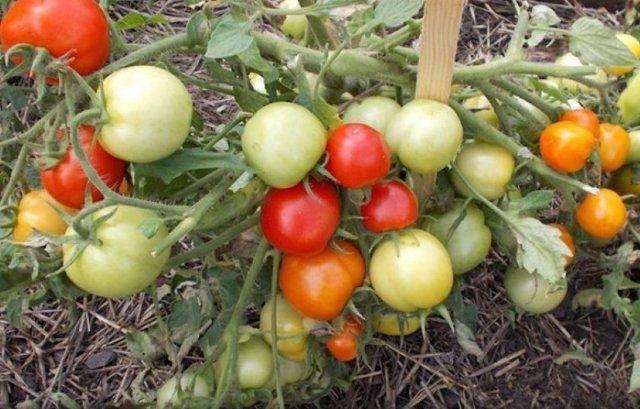 Томат видимо-невидимо: фото и отзывы садоводов, советы по выращиванию, достоинства и недостатки сорта