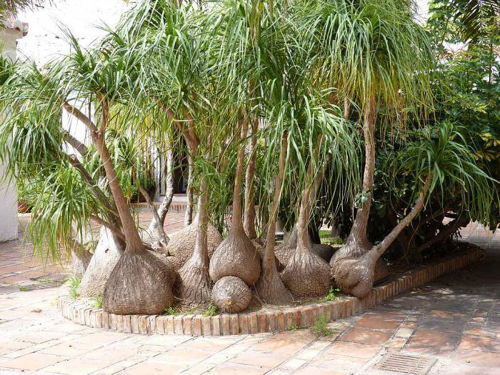 Бокарнея - уход в домашних условиях с фото. что символизируют бокарнея нолина и бокарнея отогнутая?