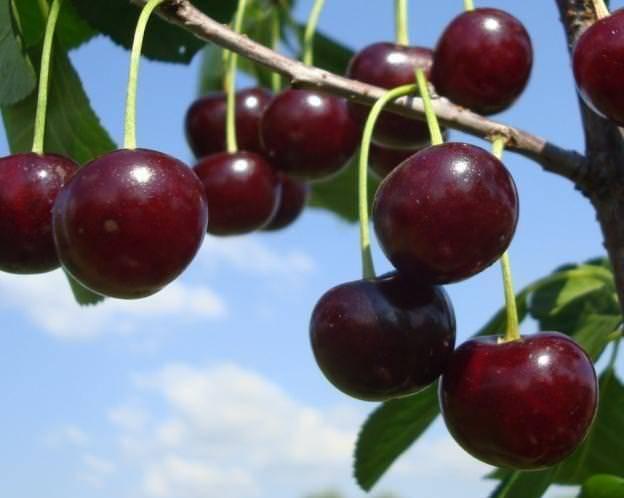 Сорт вишни призвание фото и описание сорта