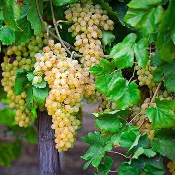 Виноград триумф, описание сорта винограда триумф