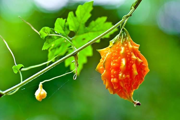 Индийский огурец момордика: лечебные свойства растения
