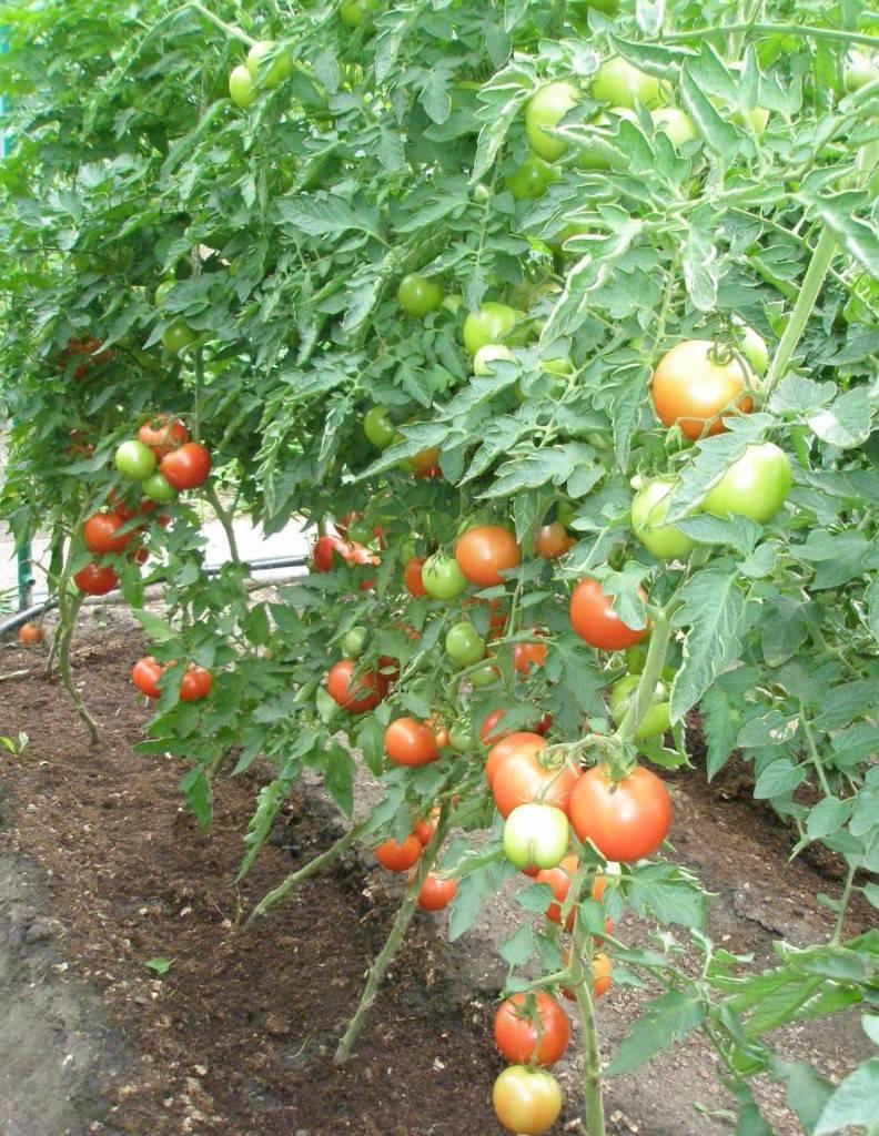 Выращивание помидоров пинк парадайз в теплице: подготовка к посадке, требования к парнику, а также особенности ухода за томатами русский фермер