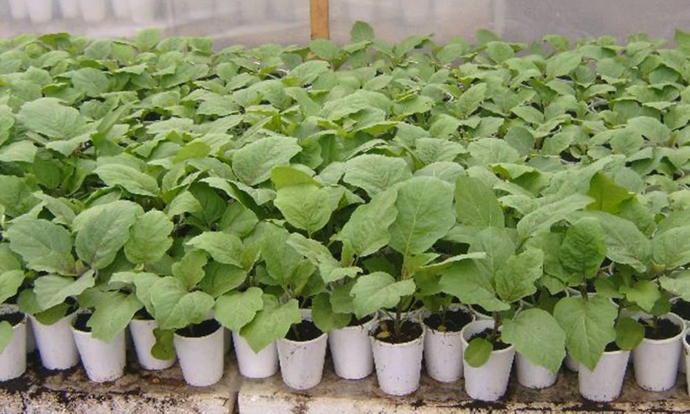 Как посадить и вырастить баклажаны в открытом грунте