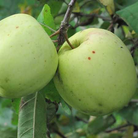 Описание сорта яблони сябрына