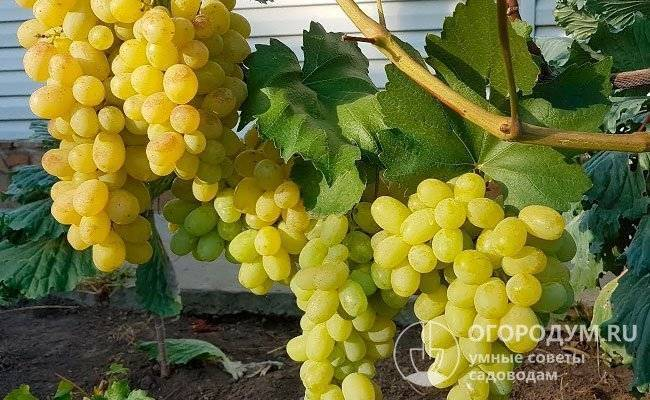 Виноград лора: описание сорта с характеристикой и отзывами, особенности посадки и выращивания, фото