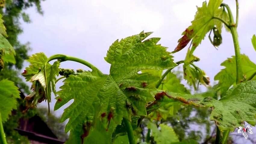 Виноградный клещ: как бороться и чем обработать народными средствами