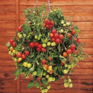 Выращивание черри на подоконнике: советы и рекомендации - огород, сад, балкон - медиаплатформа миртесен