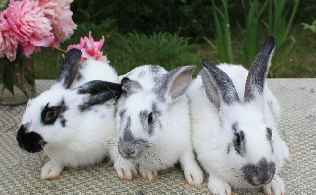 Кролики породы бабочка — описание, характеристики, особенности разведения. | cельхозпортал