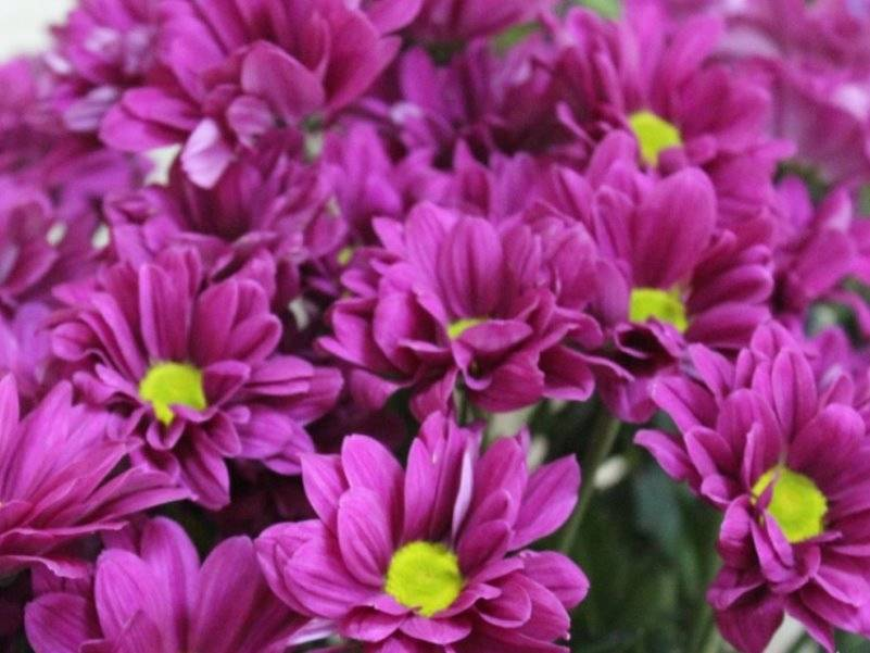 Хризантема бакарди: описание и характеристики, виды и сорта, посадка и уход