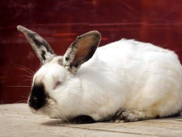 Калифорнийский кролик: описание породы, фото, характеристика, отзывы